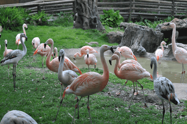 Houston Zoo Flamingos