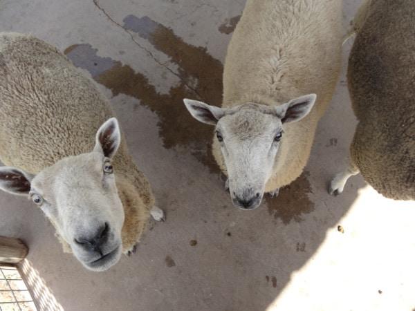 Sheep at Old Mac Donalds Farm