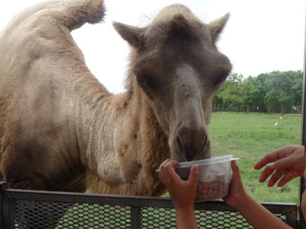 Camel at Bayou Wildlife Park