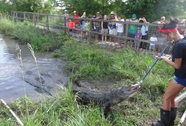 Crocodile Encounter Feeding1