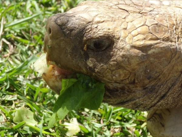 Crocodile Encounter Tortoise