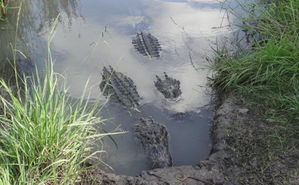 Crocodile Encounter