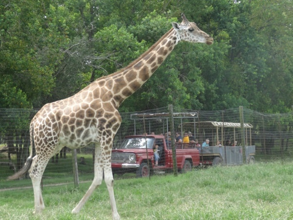 Giraffe at Bayou Wildlife Park