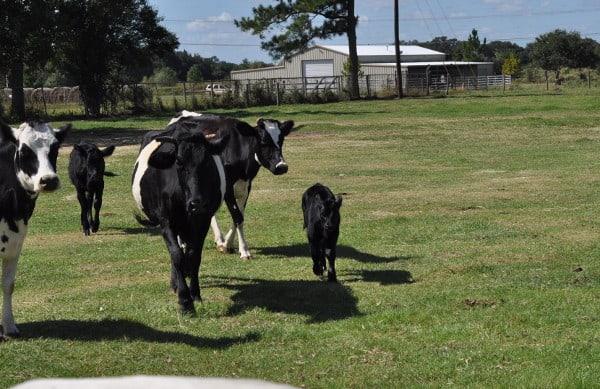 Cows at Ranch