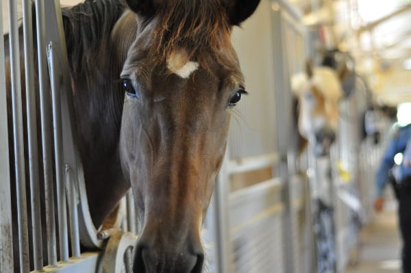 Mounted Patrol Horse