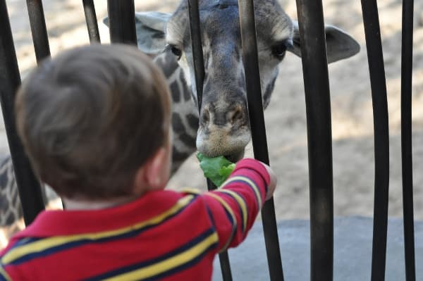 Feeding Giraffes at Houston Zoo