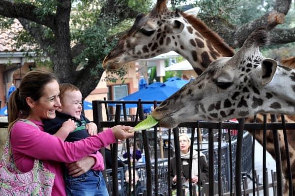 Feeding Giraffe at Houston Zoo