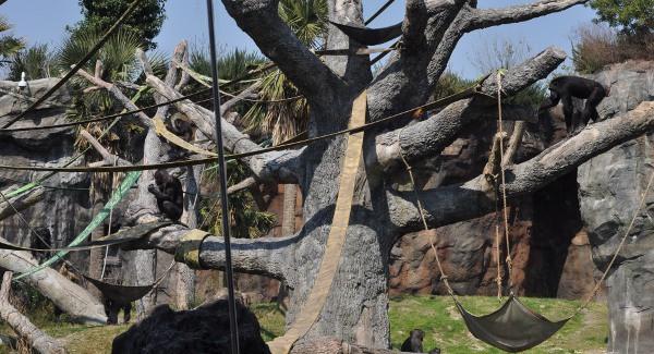 Houston Zoo Chimps