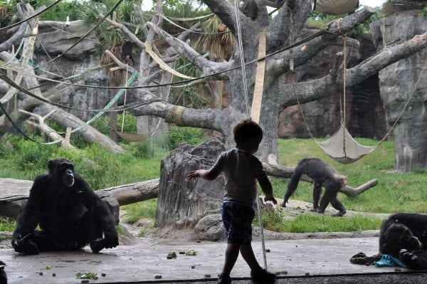 James with Chimps at Houston Zoo