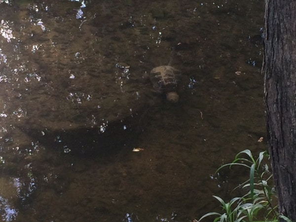 Snapping Turtle at Cedar Creek Cafe