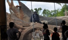 Houston Zoo Gorilla Exhibit