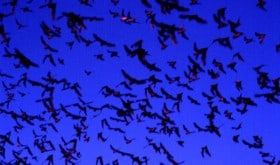 TPWD Mexican (Brazilian) free-tailed bats in flight by Thomas Kunz, Boston University
