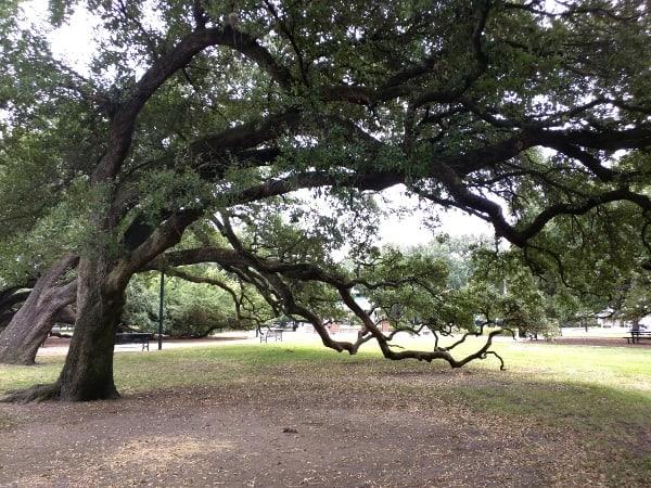 Giant Oak Trees at Baldwin Park