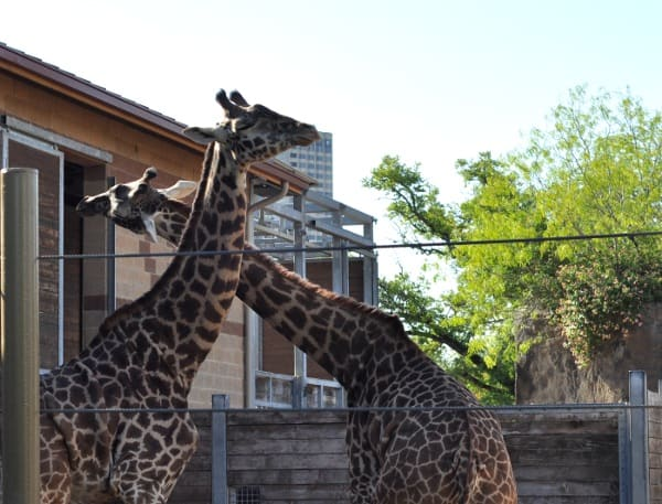 Houston Zoo giraffes and Twiga Cafe Restaurants near Houston zoo