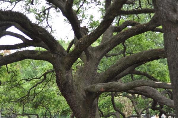 River Oaks Pumpkin Park Giant Oak