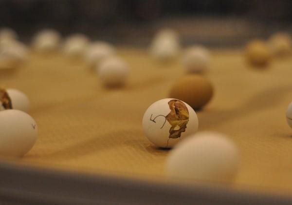 Rodeo Houston AGventure Chicks Hatching