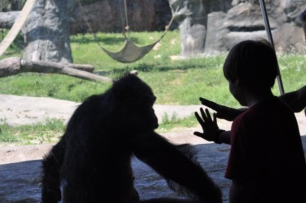 Houston Zoo Chimps and Hand