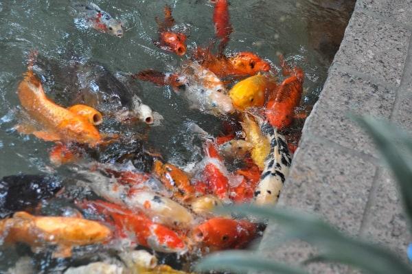 Omni Hotel Hosuton Westside Goldfish Feeding BigKidSmallCity.com