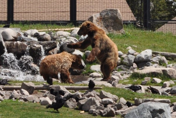 West Yellowstone Grizzly and Wolf Experience