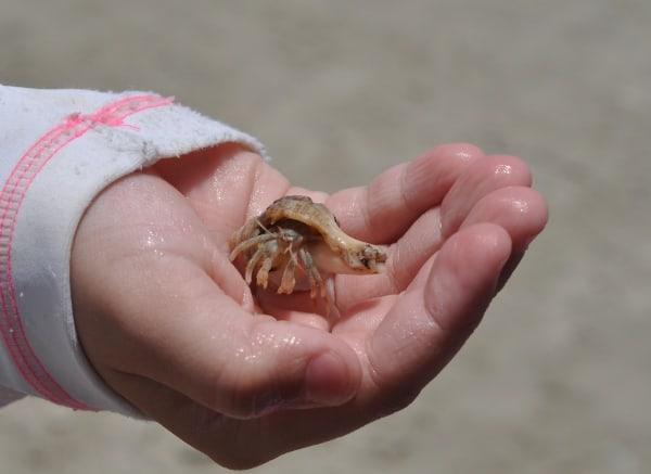 Galveston West Beach Crab
