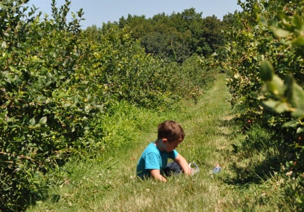 Blueberry Picking in Western New York