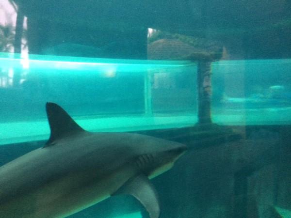 Paradise Island Shark