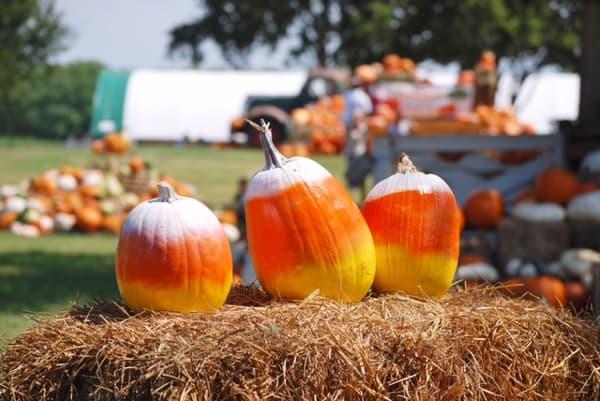 pumpkins-at-blessington-farms