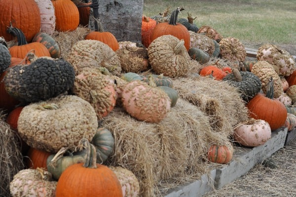 blessington-farms-pumpkin-patches2