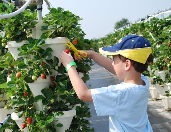 Blessington Farms Picking Strawberries