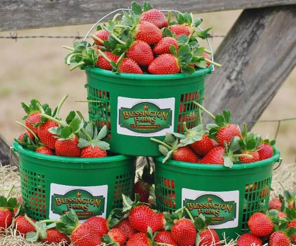 Stawberries at Blessington Farms