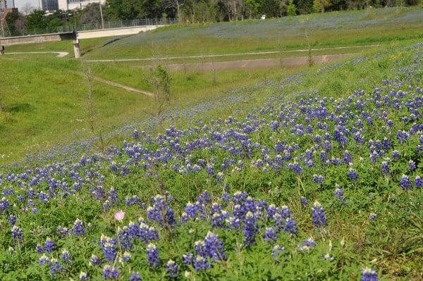Bayou Parklands Bluebonnets