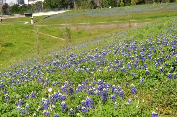 Bluebonnets at Brays bayou from Bayou Parklands at Hermann Park