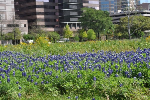 Bluebonnets at MD Anderson at TMC Transit Center