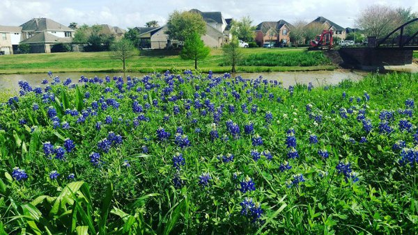 Bluebonnets in Sugar Land across Cornerstone Elementary