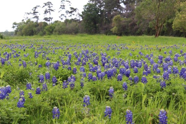White Oak Bayou Bluebonnets