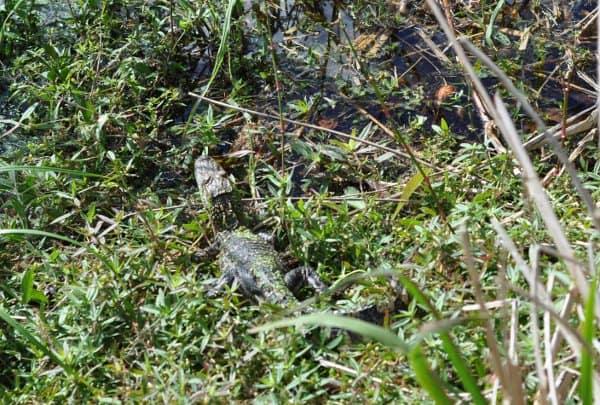 Brazos Bend State Park Alligator