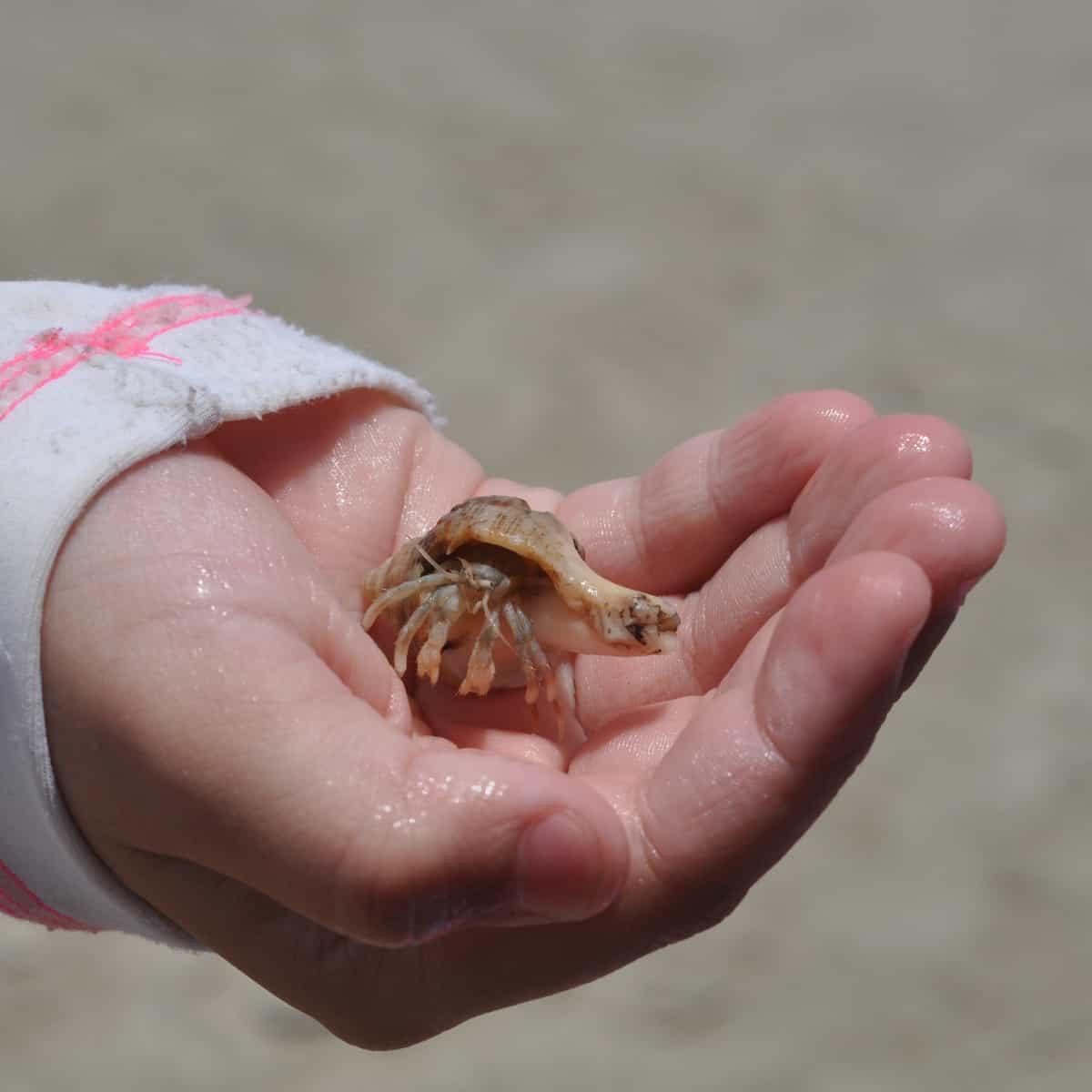 Hermit Crab at West Beach Galveston